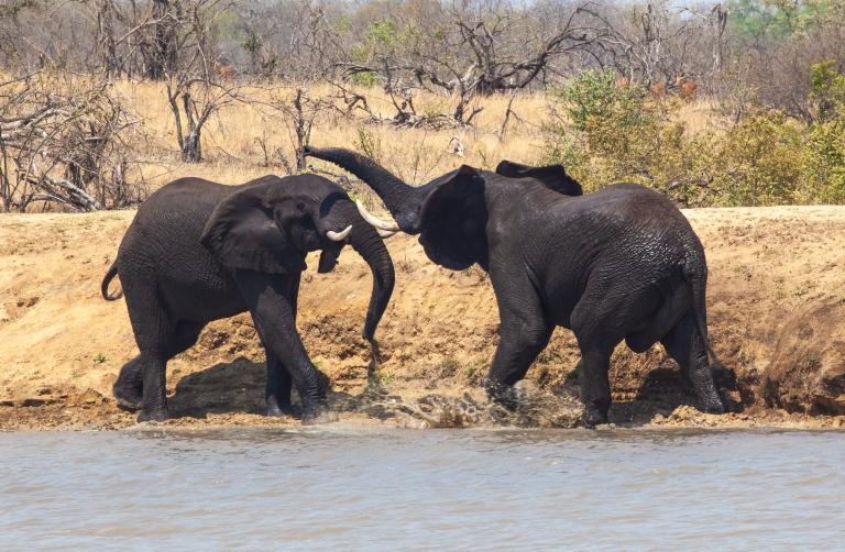 eleph bulls