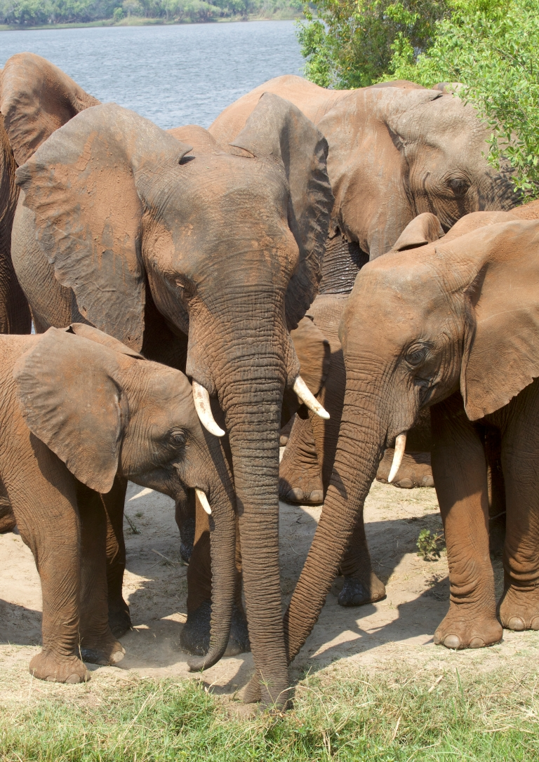 elephan family
