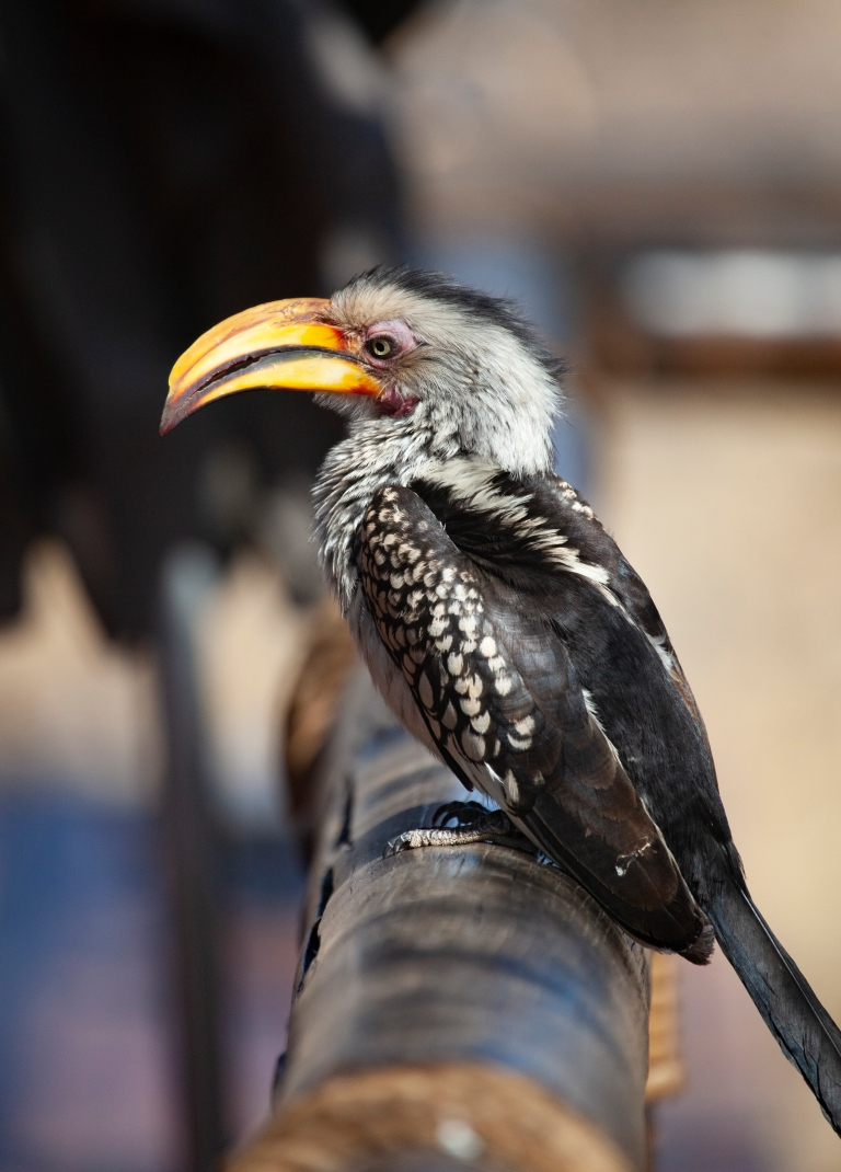 yellowb hornbill